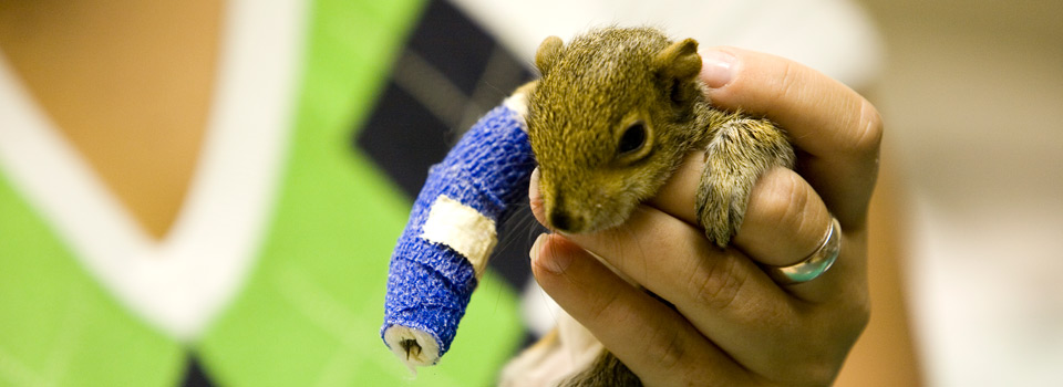 A squirrel in a tiny leg cast is among the animals helped at UF's small animal hospital.